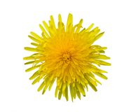 Flower of a dandelion on a white background. Yellow sow-thistle flower cut out from the background Royalty Free Stock Photos