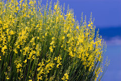 Yellow spanish broom on blue s Stock Photography