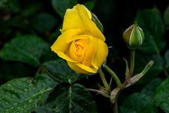 Yellow Sparkle and Shine Rose Stock Photos