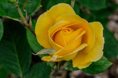 Yellow Sparkle and Shine Rose Stock Photography