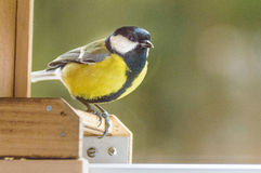 A yellow sparrow. A black and yellow sparrow stock photo