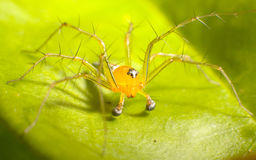 Yellow Spider. Life Size Macro of a Yellow Spider on A Leaf Royalty Free Stock Photos