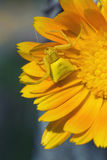 Yellow spider Stock Photos