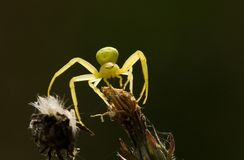 Yellow Spider Royalty Free Stock Photos