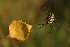 Yellow Spider. Spider and leaf Stock Images