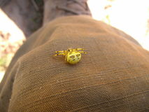 Yellow spider with brown patterns on field pants in Swaziland Royalty Free Stock Image