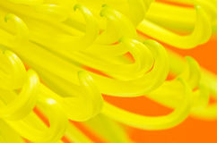 Yellow Spider Chrysanthemum Flower on Orange Stock Image