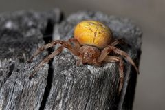 Yellow spider Stock Photography