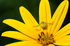 Yellow spider Royalty Free Stock Photography