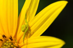 Yellow spider Stock Images