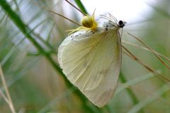 spider caught prey - white butterfly stock photography