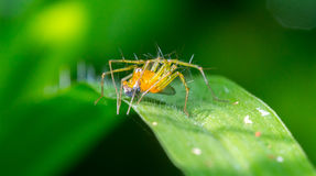 Yellow spider on the green grass Royalty Free Stock Photography