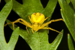 Yellow spider on green leaf Stock Photography