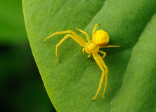 Yellow spider on a green leaf. Yellow spider is sitting on a green leaf close-up Stock Image