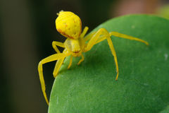 Yellow spider on a green leaf. Yellow spider is sitting on a green leaf close-up. Blurring the background. Close-up Royalty Free Stock Photography