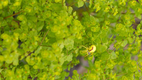 Yellow spider. At the green leafs of a tree Royalty Free Stock Photo
