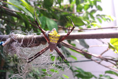 Yellow Spider Hanging Royalty Free Stock Photo