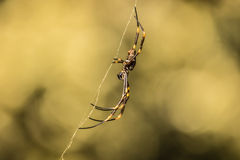 Yellow spider Royalty Free Stock Photo
