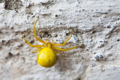 Yellow spider insect on stone wall background. Misumena vatia Goldenrod flower Crab Spider. Macro view, selective focus Stock Photos