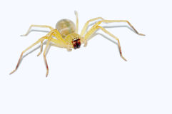 Yellow spider isolated. On white background Royalty Free Stock Photo