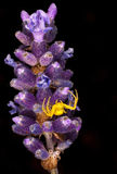 Yellow Spider on Lavender Royalty Free Stock Images