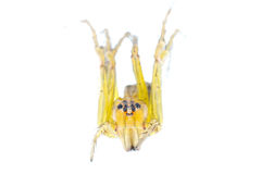 Yellow spider macro isolated Royalty Free Stock Photos
