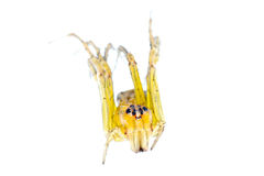 Yellow spider macro isolated Stock Photos