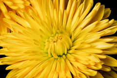 Yellow Spider Mum Royalty Free Stock Image