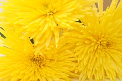 Yellow spider mum Royalty Free Stock Image