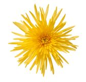 Yellow spider mum Royalty Free Stock Photos
