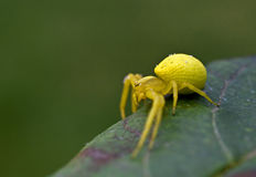 Yellow spider in nature. Yellow spider on a green grass. Misumena vatia royalty free stock photo