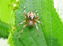 Free Yellow Spider On The Leaf Stock Photos - 12395613