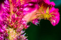 Yellow spider on pink flower Royalty Free Stock Photos