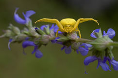 Yellow spider on purple flower (Misumena vatia) Royalty Free Stock Photos