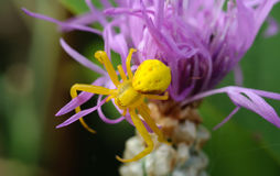 Yellow spider on a purple flower. Yellow spider sitting on a purple flower. Blurring the background. Close-up Royalty Free Stock Photography