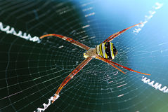 Yellow Spider red legs on it`s web net. Stock Photography