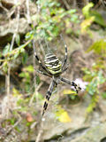 A yellow spider Stock Images