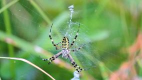 Yellow spider sit on net, waiting for hunting stock video footage