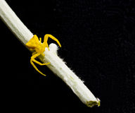 Yellow spider on stalk Stock Photography