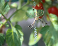 A yellow spider on a tomato plant. A yellow tiger spider on his web with on the background a plant of tomato Royalty Free Stock Images