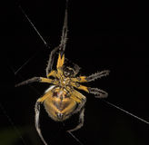 Yellow Spider Weaving - Peru. Yellow Spider Weaving near lake Sandoval Peru Stock Image