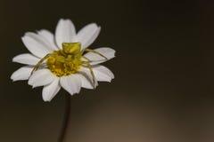 Yellow spider on white flower Stock Photos
