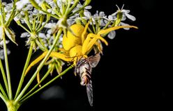Yellow spider in white flowers stock images