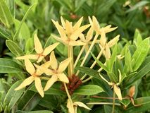 Yellow spike flowers in the morning. (photos) stock image