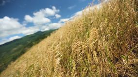 Yellow spikelets in field on blue sky clouds background, native lands, freedom. Stock footage stock video