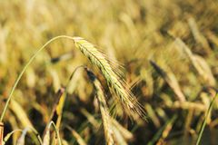 Yellow spikelets of rye on the field. Harvest grain and bread Stock Photography