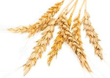 Yellow spikelets wheat Royalty Free Stock Photos