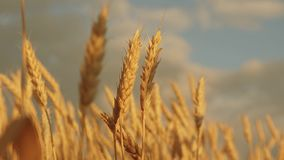 Yellow spikes sway in wind. ripe cereal harvest against sky. Beautiful sky with clouds in the countryside over a field stock footage