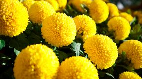 Yellow spirit natural flowers. In Da Lat, Vietnam royalty free stock photo