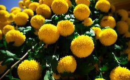 Yellow spirit natural flowers. In Da Lat, Vietnam stock photography